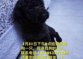 寻狗启示,乌鲁木齐捡到黑色泰迪,它是一只非常可爱的宠物狗狗,希望它早日回家,不要变成流浪狗。