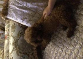 寻狗启示,寻大石坝东方港湾附近丢失棕色泰迪一只,它是一只非常可爱的宠物狗狗,希望它早日回家,不要变成流浪狗。