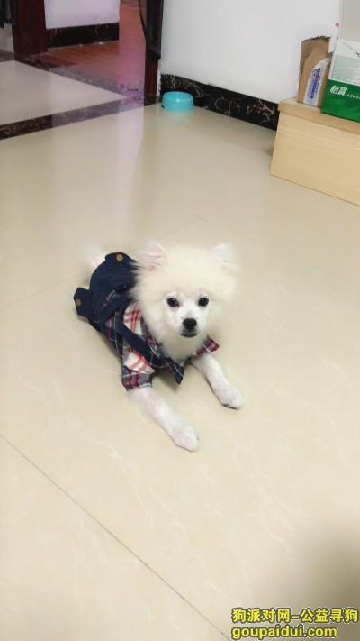 寻狗启示,白色博美  主任真的很着急,它是一只非常可爱的宠物狗狗,希望它早日回家,不要变成流浪狗。