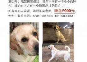 一岁半金色拉布拉多公犬,5月2日深夜在北京顺义区堡子村(宠物学校)附近走失