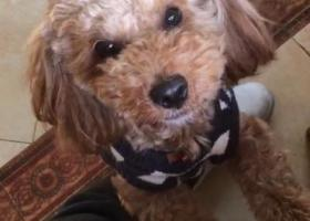 寻狗启示,2018年2月9日在余杭区绿野春天走丢红棕色泰迪,它是一只非常可爱的宠物狗狗,希望它早日回家,不要变成流浪狗。