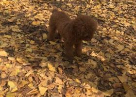寻狗启示,西安市碑林区李家村酬谢两千元寻找泰迪,它是一只非常可爱的宠物狗狗,希望它早日回家,不要变成流浪狗。