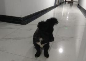 寻狗启示,板桥新城,捡到黑土狗,身上剪了毛,白色衬衫,黑爪子。,它是一只非常可爱的宠物狗狗,希望它早日回家,不要变成流浪狗。