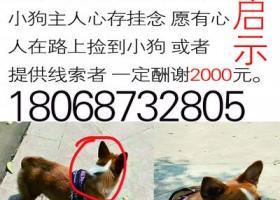 寻狗启示,寻找一只母柯基  重酬!,它是一只非常可爱的宠物狗狗,希望它早日回家,不要变成流浪狗。