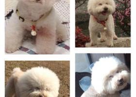 寻狗启示,寻找大头儿子(春春)酬谢1万元,它是一只非常可爱的宠物狗狗,希望它早日回家,不要变成流浪狗。