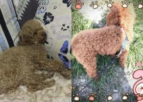 寻狗启示,上海浦江镇林海公路边上革新村寻找泰迪,它是一只非常可爱的宠物狗狗,希望它早日回家,不要变成流浪狗。