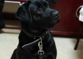 寻狗启示,南京市江宁区文靖路文华街酬谢两千元寻找拉布拉多,它是一只非常可爱的宠物狗狗,希望它早日回家,不要变成流浪狗。