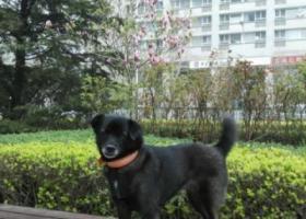 寻狗启示,小黑走丢第十五天,你在哪里?,它是一只非常可爱的宠物狗狗,希望它早日回家,不要变成流浪狗。