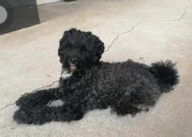 寻狗启示,北京通州区摩卡空间有一只贵宾串身高40cm,体重20斤以内,它是一只非常可爱的宠物狗狗,希望它早日回家,不要变成流浪狗。