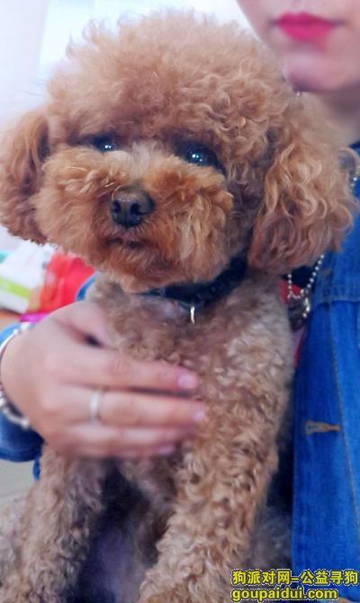 平顶山找狗,平顶山新华区开源路与湛北路酬谢两千元寻找泰迪,它是一只非常可爱的宠物狗狗,希望它早日回家,不要变成流浪狗。