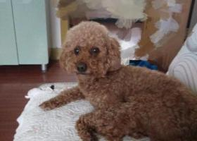 寻狗启示,寻找泰迪5月7日早晨走失,它是一只非常可爱的宠物狗狗,希望它早日回家,不要变成流浪狗。
