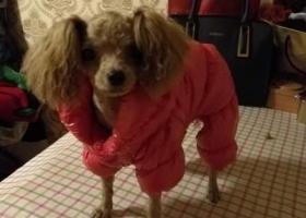 寻狗启示,东海县肉联厂小拇指修理部处小泰迪没尾巴五斤左右比较小5/9,它是一只非常可爱的宠物狗狗,希望它早日回家,不要变成流浪狗。