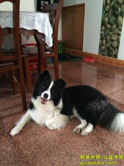 ,寻找黑白边境牧羊犬主人,它是一只非常可爱的宠物狗狗,希望它早日回家,不要变成流浪狗。