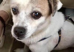 寻狗启示,广州市天河员村二横路百佳超市寻找京巴,它是一只非常可爱的宠物狗狗,希望它早日回家,不要变成流浪狗。