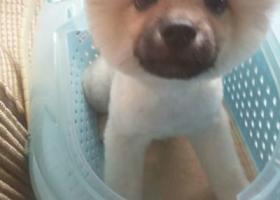 寻狗启示,泸州大山坪走失的博美狗狗,快回家。,它是一只非常可爱的宠物狗狗,希望它早日回家,不要变成流浪狗。