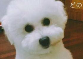 寻狗启示,一只白色的比熊公的八个月,它是一只非常可爱的宠物狗狗,希望它早日回家,不要变成流浪狗。
