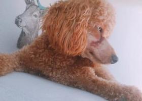 寻狗启示,凯旋路捡到一只贵宾犬 急寻主人,它是一只非常可爱的宠物狗狗,希望它早日回家,不要变成流浪狗。