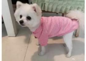 寻狗启示,北京朝阳区金蝉南里9号楼寻找白色博美,它是一只非常可爱的宠物狗狗,希望它早日回家,不要变成流浪狗。