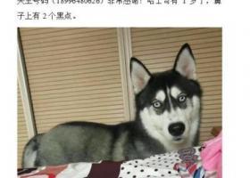 寻狗启示,寻狗启示,寻找一条哈士奇,它是一只非常可爱的宠物狗狗,希望它早日回家,不要变成流浪狗。