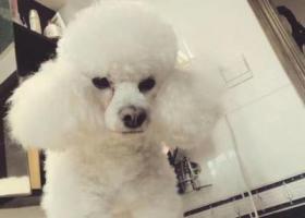 寻狗启示,玄武区樱海公寓寻白色贵宾,它是一只非常可爱的宠物狗狗,希望它早日回家,不要变成流浪狗。