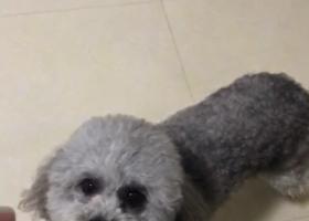 寻狗启示,陆丰东海寻找灰色泰迪狗狗,它是一只非常可爱的宠物狗狗,希望它早日回家,不要变成流浪狗。