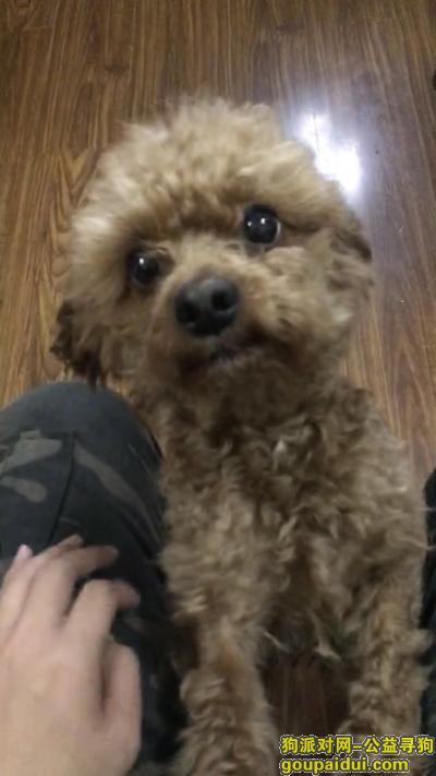 ,杭州市下城区中山北路观巷寻找泰迪,它是一只非常可爱的宠物狗狗,希望它早日回家,不要变成流浪狗。
