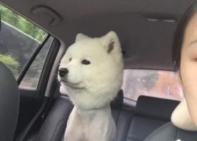 寻狗启示,寻萨摩一只,才推了毛,小龙坎附近,它是一只非常可爱的宠物狗狗,希望它早日回家,不要变成流浪狗。