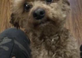 寻狗启示,杭州下城区中山北路观巷寻找泰迪,它是一只非常可爱的宠物狗狗,希望它早日回家,不要变成流浪狗。