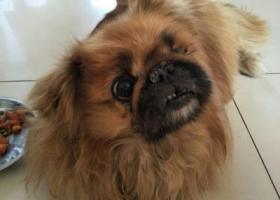 寻狗启示,寻找黄色京八犬,母,左眼失明,15岁,在朝阳区柳芳北里丢失!,它是一只非常可爱的宠物狗狗,希望它早日回家,不要变成流浪狗。