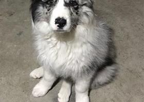 寻狗启示,海门叠石桥林西村委会西侧丢失边牧一只,它是一只非常可爱的宠物狗狗,希望它早日回家,不要变成流浪狗。