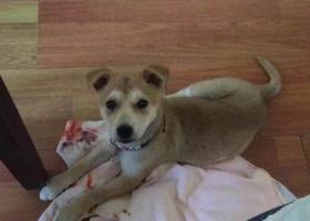 寻狗启示,上海市宝山区国权北路美岸栖庭小区寻找田园幼犬,它是一只非常可爱的宠物狗狗,希望它早日回家,不要变成流浪狗。