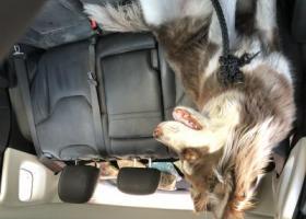 寻狗启示,寻狗 棕色阿拉斯加 内蒙古额济纳旗走失,它是一只非常可爱的宠物狗狗,希望它早日回家,不要变成流浪狗。