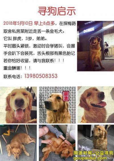 寻狗启示,5.10成都寻狗 三圣乡 金毛,它是一只非常可爱的宠物狗狗,希望它早日回家,不要变成流浪狗。