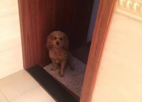 寻狗启示,杭州萧山走丢泰迪一只,它是一只非常可爱的宠物狗狗,希望它早日回家,不要变成流浪狗。