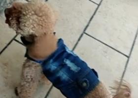 寻狗启示,本人于 5月 13日  21:40分左右,在金尚路禹州花园三期的绿化带路边丢失棕色泰迪一只。3岁,没有剪尾巴的,名叫:(皮皮)身穿蓝色牛仔马甲衣,脖子带有黑色圈。希望好心人看到后,请与我联系:13159215393.  重金感谢。拜托了,它是一只非常可爱的宠物狗狗,希望它早日回家,不要变成流浪狗。