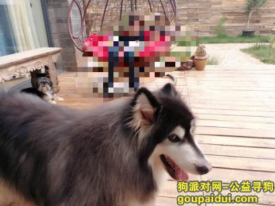 ,短腿尖脸阿拉斯加古城区束河街道红山村走失,它是一只非常可爱的宠物狗狗,希望它早日回家,不要变成流浪狗。
