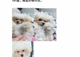 寻狗启示,白色母泰迪十个月,在虹桥新村194幢附近丢失,它是一只非常可爱的宠物狗狗,希望它早日回家,不要变成流浪狗。