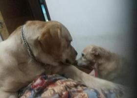寻狗启示,杭州三里亭拉布拉多走失,它是一只非常可爱的宠物狗狗,希望它早日回家,不要变成流浪狗。