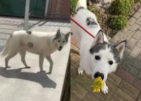 寻狗启示,上海浦东新区南汇三灶村酬谢两千元寻找哈士奇,它是一只非常可爱的宠物狗狗,希望它早日回家,不要变成流浪狗。