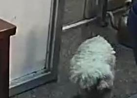 寻狗启示,家里来了一只狗 特粘人,它是一只非常可爱的宠物狗狗,希望它早日回家,不要变成流浪狗。