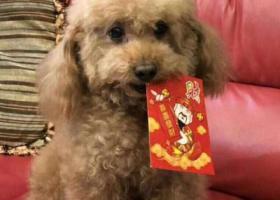 寻狗启示,寻找棕色贵宾 广州五羊新城寺右东小区走失 酬谢,它是一只非常可爱的宠物狗狗,希望它早日回家,不要变成流浪狗。