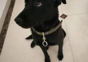 寻狗启示,金牛五丁桥附近捡到拉布拉多犬,妹妹,8-12个月左右,它是一只非常可爱的宠物狗狗,希望它早日回家,不要变成流浪狗。