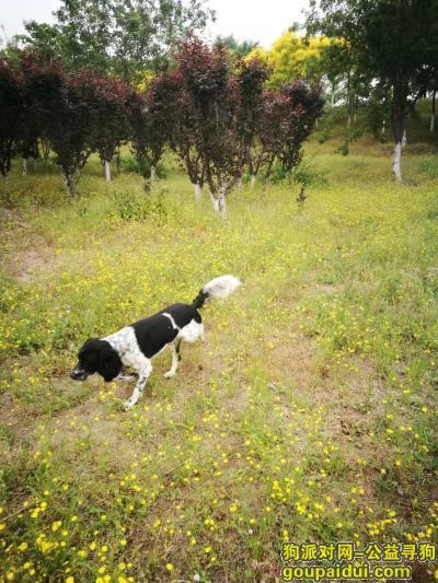 寻狗启示,5月16丢失爱犬史宾格在丰台区太平桥西里小区,它是一只非常可爱的宠物狗狗,希望它早日回家,不要变成流浪狗。