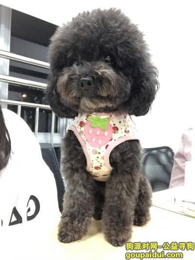 寻狗启示,寻狗启示:黑色微小贵宾,沙太三九脑科医院附近走失,它是一只非常可爱的宠物狗狗,希望它早日回家,不要变成流浪狗。