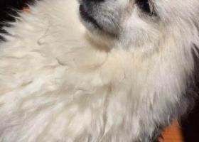 寻狗启示,我家博美犬于2018年5月5日在新港城附近丢失,麻烦看到的朋友尽快联系我们!,它是一只非常可爱的宠物狗狗,希望它早日回家,不要变成流浪狗。