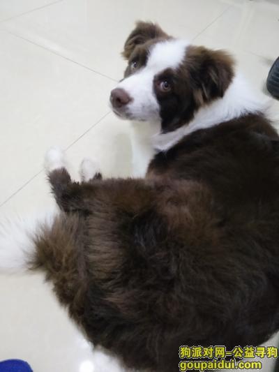 寻狗启示,咖啡色边牧丢失于北京房山区万里村,它是一只非常可爱的宠物狗狗,希望它早日回家,不要变成流浪狗。