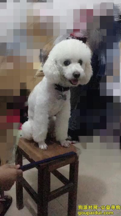 寻狗启示,秀灵路好歌城附近走丢白色比熊浪浪,它是一只非常可爱的宠物狗狗,希望它早日回家,不要变成流浪狗。