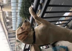 寻狗启示,重酬寻爱犬拉布拉多犬,它是一只非常可爱的宠物狗狗,希望它早日回家,不要变成流浪狗。