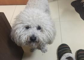 寻狗启示,重金酬谢,丢失了比熊,它是一只非常可爱的宠物狗狗,希望它早日回家,不要变成流浪狗。