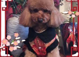 寻狗启示,公泰迪姓名来米,3岁,它是一只非常可爱的宠物狗狗,希望它早日回家,不要变成流浪狗。